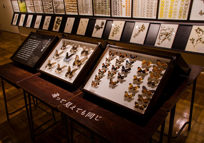 静岡のチョウ 世界のチョウ|ふじのくに地球環境史ミュージアム_7